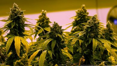 Photo of Luxembourg to legalise growing and using cannabis at home